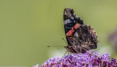 9Q6A1818 (2) (Alinbidford) Tags: alancurtis alinbidford brandonmarsh nature wildlife butterfly