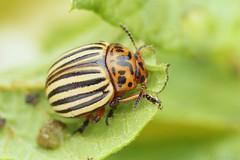Leptinotarsa decemlineata (Radim Gabriš) Tags: coleoptera chrysomeloidea chrysomelidae leptinotarsa potatobeetle leafbeetle beetle macro insect