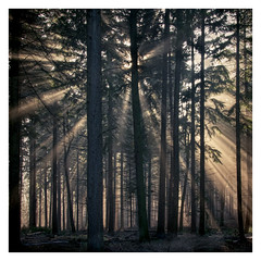 Starburst (AEChown) Tags: mist rays sunrays sun forest bedgebury trees firtrees wood tree landscape