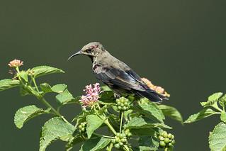 Cinnyris venustus ♂ (Variable Sunbird) - Isunga, Uganda (3)