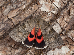 Red Underwing (Catocala nupta). (od0man) Tags: redunderwing catocalanupta noctuidae catocalinae lepidoptera insect moth macro macrolife canonef100mmf28lmacroisusm liden swindon wiltshire uk skinnertrap