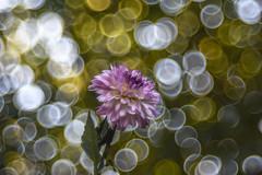 Dália (Torok_Bea) Tags: dália flower flowers bokeh trioplan meyeroptik meyeroptikgörlitztrioplan nikon nikond7200 d7200 m42 manuallens bokehflower m42mount manual 100mm trioplan100mm
