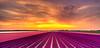 Nothing's without colour. (Alex-de-Haas) Tags: adobe dji dutch fc6310 hdr holland lightroom nederland nederlands netherlands noordholland phantom phantom4 phantom4pro photomatix aerial aerialphotography beautiful beauty bloem bloemen bloementeelt bloemenvelden cirrus drone floriculture flower flowerfields flowers landscape landschaft landschap lente lucht luchtfotografie mooi polder skies sky spring sun sundown sunset zonsondergang schagerbrug nl