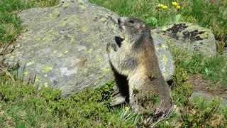 Marmotta Alpina - Campolungo - Ticino - Svizzera
