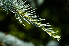 6M7A2285 (hallbæck) Tags: pine tree needles branch evergreen macro forskerparken dtusciencepark hørsholm denmark thenewneedles macrounlimited