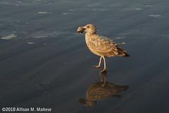 Dinner (A.Maltese) Tags: juvenile bird herringgull gull seagull beach quahog clam shoreline nature