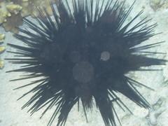 429. Sea Urchin (1000 Wildlife Photo Challenge) Tags: seaurchin sealife greatbarrierreef australia queensland