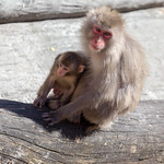 Japanese macaque with young thumbnail