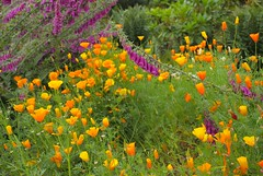Emmetts Gdns NT (Adam Swaine) Tags: emmetts emmettsgdns foxglove poppy gardens nationaltrust naturelovers nature summer flora flowers kent england english britain british canon uk counties countryside colours seasons