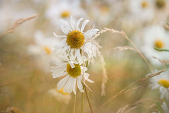 together_0137 (mistycrow) Tags: daisies daisy yellow flowers flower nature meadows petals
