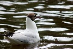 photo_0113 (strandtentje) Tags: bird nature peas food feeding beaks feathers water grass summer expressive birds swallows seagulls crows ducks