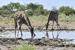 Namibie 2018 - Etosha National Park (philippebeenne) Tags: afrique africa namibie namibia etosha park nationalpark parcnational animaux animals sauvage wild safari gamedrive
