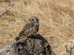 27 05 2018 (cathyk31) Tags: oiseau hiboudesmarais asioflammeus shortearedowl strigidés strigiformes bird