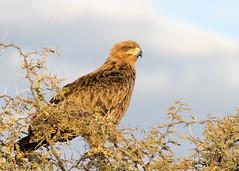 Tawny Eagle Namibia BB0T0496 (YOYO182) Tags: namibia etosha africa wildlife tawnyeagle