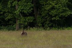 European Brown Bear (Paul.White) Tags: europeanbrownbear brownbear bear bears keystonespecies nature wildlife wildtransylvania wilderness trackranger tracking bushcraft transylvania romania ecology environment biodiversity biology