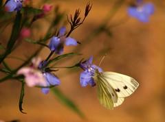 Small White Butterfly (saxonfenken) Tags: 24thjuneflowers 6787but 6787 smallwhite white butterfly shallowdof dof insect tcfunamjune pregamewinner storybookunam friendlychallenges perpetual gamewinner
