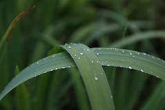 Water pearls on iris leaves (liisatuulia) Tags: porkkala dilojun2018
