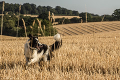 Running Over The Stubble (sharongellyroo) Tags: dodge bordercollie harvest glemsford suffolk walkies