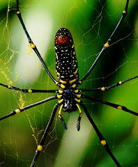 Giant Wood Spider - Female - Eastern Himalayas - 2,138m Altitude (forest venkat) Tags: spider web tree macro bird