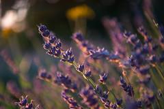 you shine them when I'm alone (madtacker) Tags: outdoor natur makro detail blume flower vintage art bokeh schneiderkreuznach xenarprewar f28 50mm nikon d800 deutschland germany
