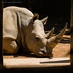 White rhino (kimbenson45) Tags: cotswoldwildlifepark animal brown ears head hide horns outdoors repose resting rhinoceros skin whiterhino wrinkled wrinkles