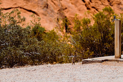 Zion 2018-105_ILCE-7RM3-85 mm-180530_180530-ILCE-7RM3-85 mm-122355__STA5375 (Staufhammer) Tags: sony sonya7riii a7riii sonyalpha sony1635mmf28gm sony1635mm sonygm sony85mmf18 zion nationalparks nationalpark zionnationalpark grandcanyon landscape alphashooters travel valley fire state park valleyoffire valleyoffirestatepark