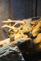 20180729-DS7_8293.jpg (d3_plus) Tags: d700 thesedays 爬虫類 両生類 telezoomlens 28300 28300mm 伊豆半島 望遠 tamron28300mm 動物 reptiles 望遠レンズ telephoto japan ニコン a061n dailyphoto nikon a061 zoo 両棲類 animal 日常 tele nikond700 静岡県 daily izupeninsula 動物園 amphibians eastizu shizuokapref tamronaf28300mmf3563 日本 東伊豆 tamronaf28300mmf3563xrdildasphericalif tamron タムロン