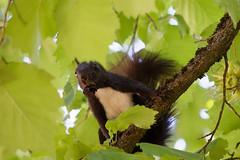 Squirrel b&w (wolfgang.kynast) Tags: eichhörnchen squirrel friedhof cemetery smileonsaturday uniflona