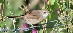 Bug hunting Whitethroat - Taken at Sywell Country Park, Sywell, Northants. UK. (Ian J Hicks) Tags: