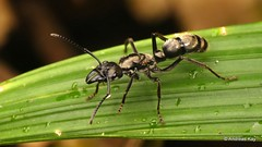 Hairy Panther Ant, Neoponera villosa? (Ecuador Megadiverso) Tags: andreaskay ant ecuador formicidae hairypantherant hymenoptera neoponerasp neoponeravillosa