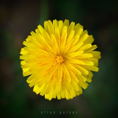 Helio II (Elton Pelser) Tags: flower yellow square 11 nature photography nikon d3400 kitlens 1855mm flora