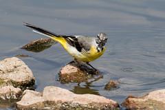 IMG_7806.jpg (TonyJ 3006) Tags: birds greywagtail places slimbridge