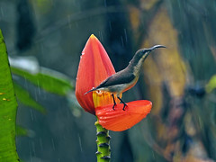 Raindrops keep falling on my head... (Lopamudra !) Tags: lopamudra lopamudrabarman lopa india munnar kerala bird sunbird female flora flower nature jungle forest rain raindrop weather bathing bath colour color colours colourful cold tiny tinybird beauty beautiful pretty delight