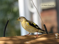 Evening Grosbeak (Coccothraustes vespertinus) (Gerald (Wayne) Prout) Tags: eveninggrosbeak coccothrautesvespertinus animalia chordata aves passeriformes fringillidae coccothraustes vespertinus female bird birds songbirds perchingbirds animal animals fauna nature wildlife sandyfallsroad mountjoytownship cityoftimmins northeasternontario northernontarioontariocanadaproutgerald wayne proutcanoncanon powershot sx60 hspowershotsx60hsdigitalcameraphotographedphotographysandyroadmountjoytownshipcitytimminsnortheasternnorthernbird feeder seeds