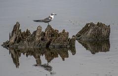 Black Tern (Chlidonias niger or Chlidonias nigra) (mesquakie8) Tags: bird tern flyingandfeeding juvenile blacktern chlidoniasnigerorchlidoniasnigra blte horiconmarshnwr dodgecounty wisconsin 8600
