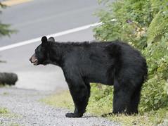 Bear Profile Length 125 (Gillfoto) Tags: bear bearcountry blackbear garden fruit picker