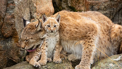 A mother´s love and protection (CecilieSonstebyPhotography) Tags: cub rock eurasianlynx lynx endangered closeup sweet cat canon kitten 8weeks animal norway lynxkitten markiii gaupe love langedrag canon5dmarkiii lynxcub adorable animals cute mother 8weeksold catfamily specanimal