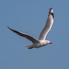 Skybird (gecko47) Tags: bird gull flight common australiawide buckleyshole bribieisland bongaree silvergull larusnovaehollandiae jonathanlivingstoneseagull skybird