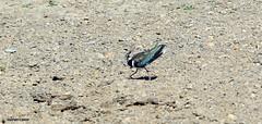 J78A0136 (M0JRA) Tags: birds flight flying wildlife rats walks gardens parks fields trees lakes ponds ducks swans rspb