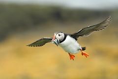 Puffin in flight (adbecks) Tags: puffin flight nikon bif 300 pf lens review wildlife uk