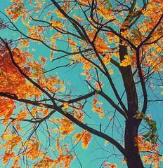 Golden Autumn Leaves (missgeok) Tags: autumn season weather goldenautumnleaves goldenleaves orange yellow brown hues beautiful warm golden treebranches leaves fallseason branches tressbranches colours