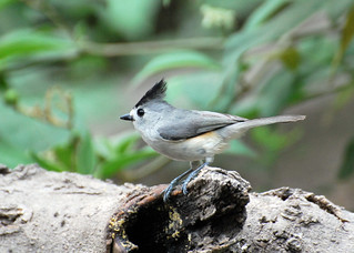 Black-crested Titmouse1 4-14-13