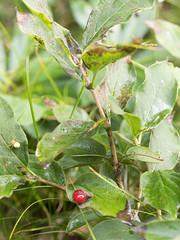 P8110077 (turbok) Tags: pflanze sträucher wildpflanzen alpendoppelbeerealpenheckenkirsche istloiceraalpigena