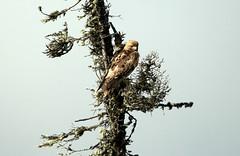 Buse (Marie-Helene Levesque) Tags: oiseau lac stjean lacstjean réservefauniqueashuapmushuan buse mariehélène mariehelene