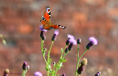 Butterfly smiles... (Maria Godfrida) Tags: smileonsaturday uniflona flora fauna nature animals insects butterfly thistles flowers colourful purple bokeh 7dwf psp