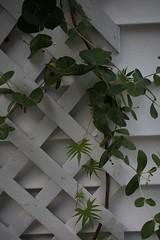 jdy217XX20180805a6873Bias-0.3 stops.jpg (rachelgreenbelt) Tags: ghigreenbelthomesinc usa northamerica asteridsclade americas familyconvolvulaceae familycaprifoliaceae eudicots greenbelt midatlanticregion lonicerasempervirensjohnclayton2016yellow orderdipsacales ordersolanales ipomoeaall maryland loniceragenus campanulidsclade 9to19lobeseachsideofleaf convolvulaceae convolvulaceaefamily magnoliophyta asterids caprifoliaceae caprifoliaceaefamily cardinalclimber cardinalcreeper cardinalvine cypressvine cypressvinemorningglory dipsacales dipsacalesorder featheryleaves floweringplants genuslonicera honeysuckle honeysucklefamily hummingbirdvine ipomoeaquamoclit ipomoeasloteri lonicera lonicerasempervirensjohnclayton nativetonorthernsouthamerica polemoniales solanales solanalesorder spermatophytes starglory trumpetshapedredflower