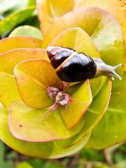 Achatinella lila. Photo credit: David Sischo (USFWS Pacific) Tags: usfws endangeredspecies endangeredspeciesact recovery hawaii snails