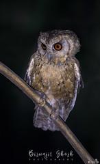 Collared scops owl (Otus lettia) (Biswajit Ghosh'76) Tags: ngc bbc scopsowl indian owl indianbird nightbird