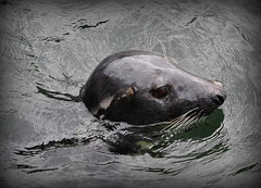 Grey Seal at Babbacombe Harbour (Maria .... on here to learn and be inspired.) Tags: greyseal seal babbacombe harbour nature sea water summer