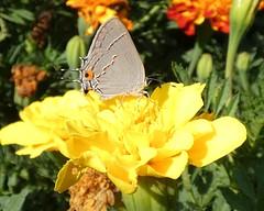 Gray Hairstreak (Keith Roragen) Tags: nebraska insect lepidoptera butterfly hairstreak lycaenidae grayhairstreak strymon melinus omaha